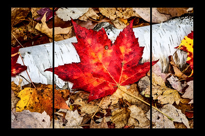 Intensely red maple leaf on a birch log
