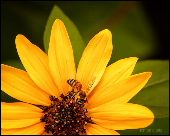 Sunflower bloom with bee