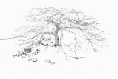 Herbert's Tree - B&W Copyright 2017 Steve Leimberg - UnSeenImages Com L1000973