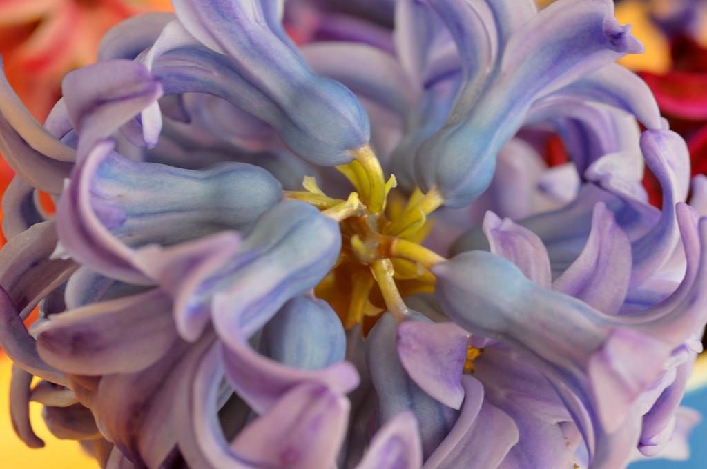 Blue-purple hyacinth