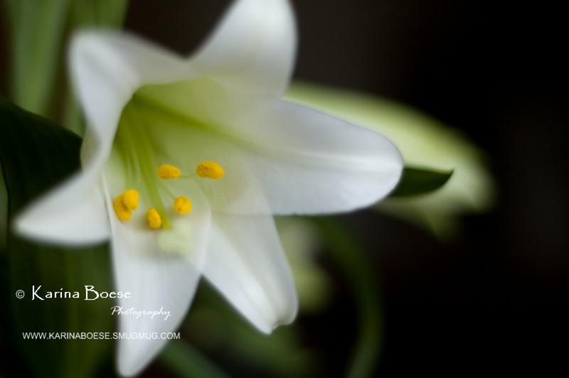 DSC_9839 easter lily flower 2010 1