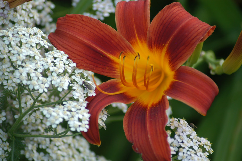 Day Lily_-4