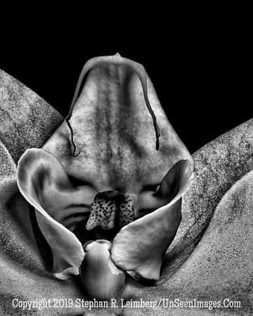 Blue Orchid Series Tongue B&W _U0U0047