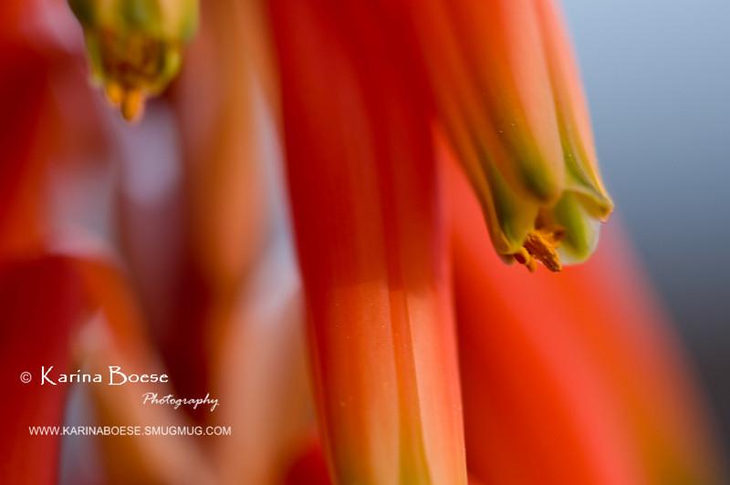 DSC_7048 cactus flowers 2010 1