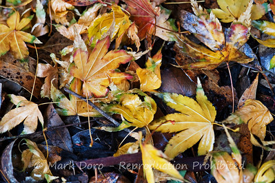 Autumn leaf litter, Williamstown