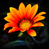 Hot Summer Gazania