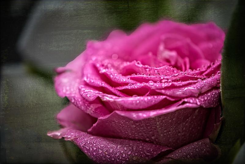 Rose Pedals-2