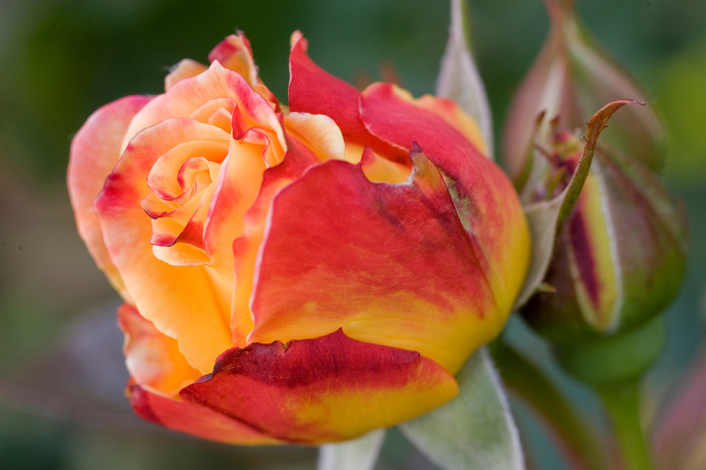 Rose from Portland's Rose Gardens