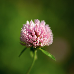 A colourful clover in the morning sunlight.