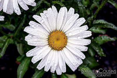 Rain on a daisy.