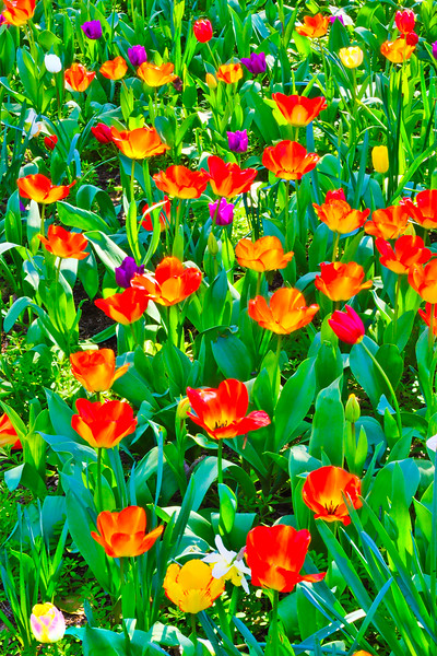 Tulip field in Rutherford #2