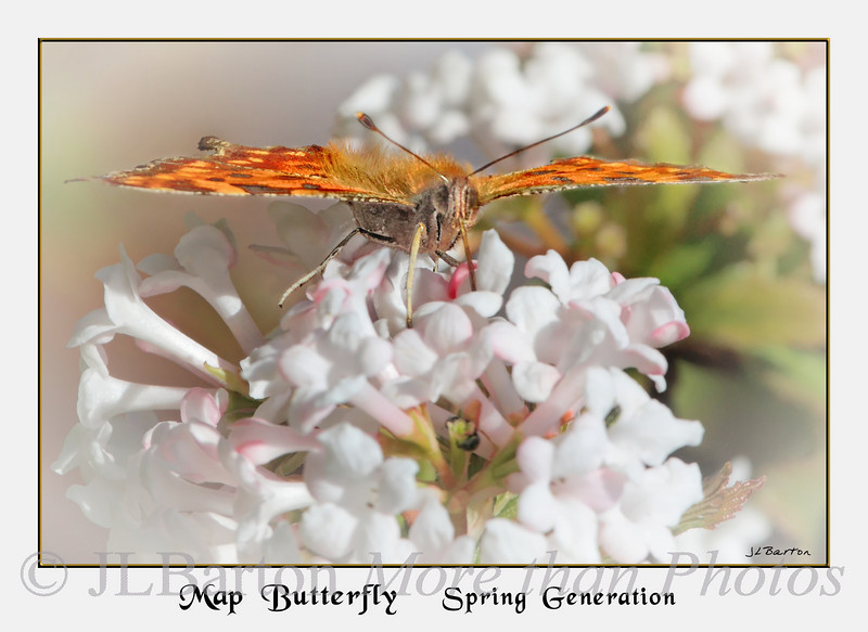"""Tasty Meal spring generation of the """"Map Butterfly"""" on Viburnum Dawn in our garden"""