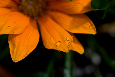 Raindrops on Gazania