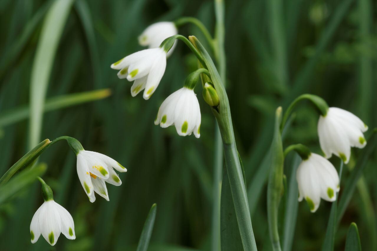 Spring Snowflakes (Leucojum vernum) - Alfred B. Maclay Gardens State Park, Florida