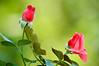 Roses a Pair-0028