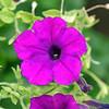 DSC01919_false_purple