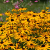 Black-eyed-susans in a field of flowers with sweat pea behind.