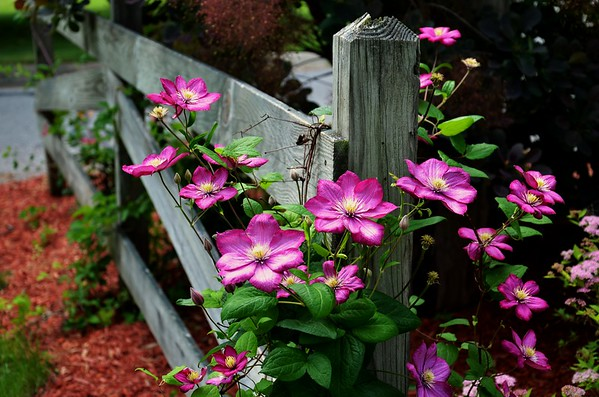 Clematis Vine on a Fence post