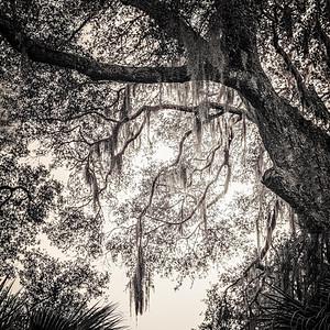 Amelia Island Trees Copyright 2021 Steve Leimberg UnSeenImages Com L1030113
