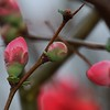 Dewdrops on the Quince Flowers