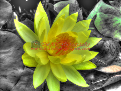 Bright Yellow Water Lillie 0296
