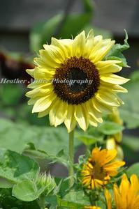 IG sunflower0111