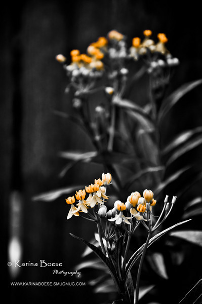 bw butterfly weed (1 of 1)