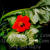 Red Flower - PAINTING - Copyright 2016 Steve Leimberg - UnSeenImages Com   _Z2A4055