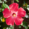 Hibiscus Afternoon