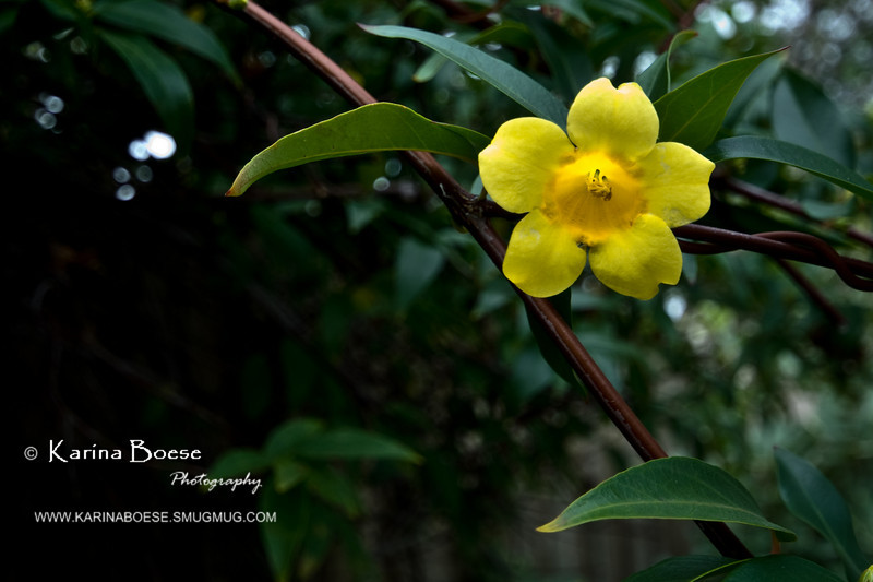 yellow climbing flower
