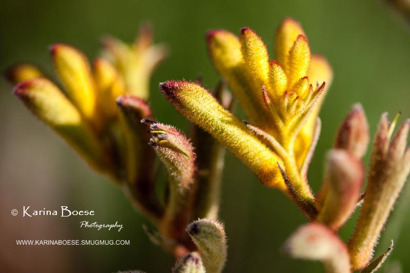 kangaroo paw yellow flower-8202