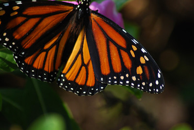 Monarch Butterfly, Borger TX