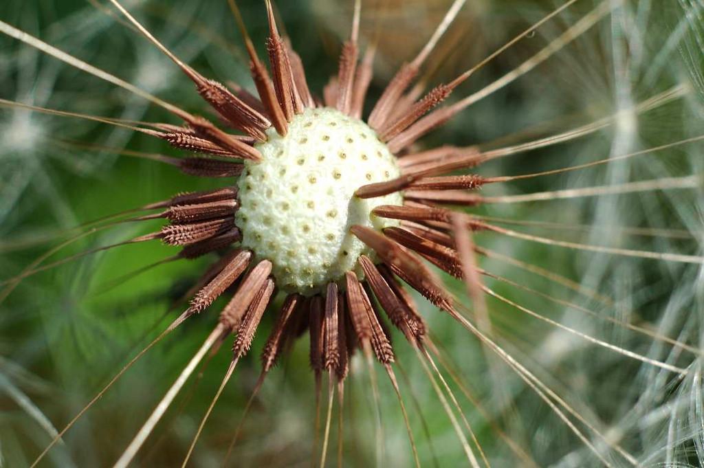 Extreme macro dandelion puff