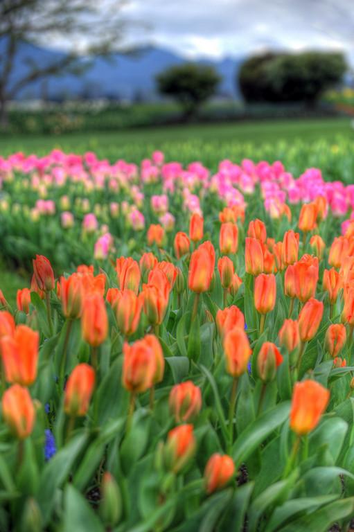 2010 Tulip Festival at RoozenGaerde, Mount Vernon WA