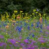 Texas Spring Wildflowers