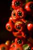 close up HOYA orange red berries DSC_1400 1