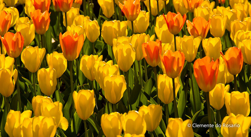 Tulips in bloom at a botanical garden in Oakville, Ontario,Canada i