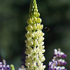 5-Lupine Flower and Bee
