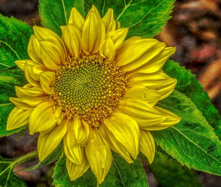 Yellow Sunflower-