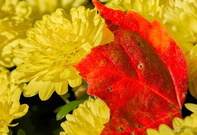 Red Leaf on Yellow Mum