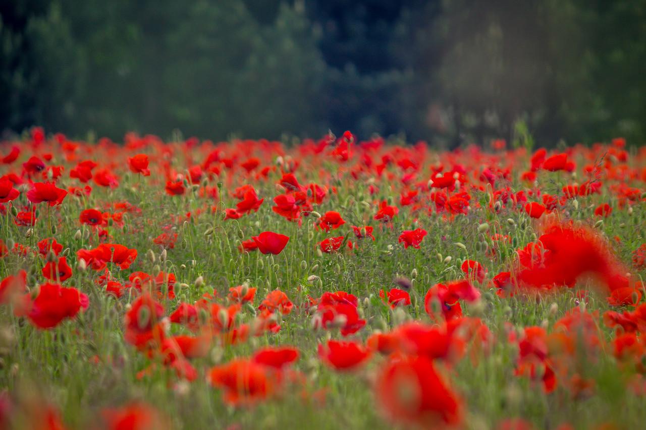 Poppies in Denmark