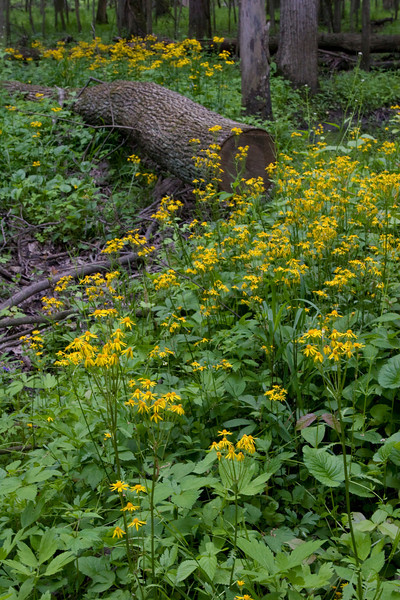 Round Leaved Ragwort - Oak Openings - May 2008