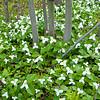 Forest Trillium 2