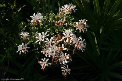Tarflower (Bejaria racemosa)