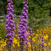Rough Blazing Star with Western Sunflowers in the background - Oak Openings