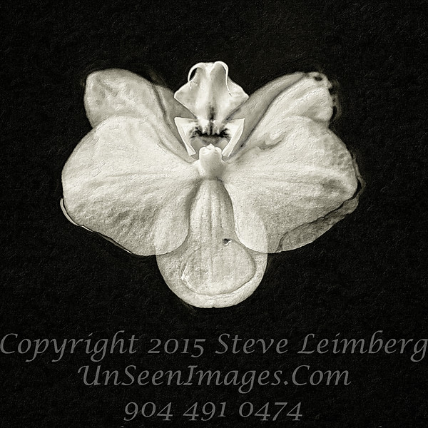 Lis's Orchid - B&W Copyright 2016 Steve Leimberg - UnSeenImages Com _Z2A4647