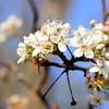 Dogwood Blooming