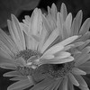Gerbera Daisy Twins in B&W