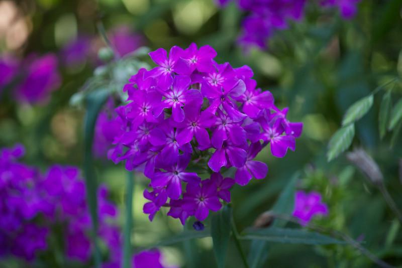 purple trois
