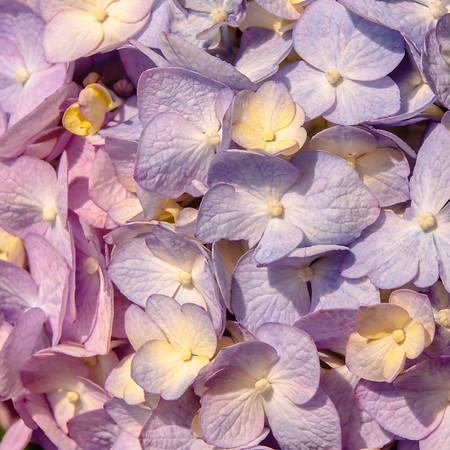Lavender Hydrangea Blooms